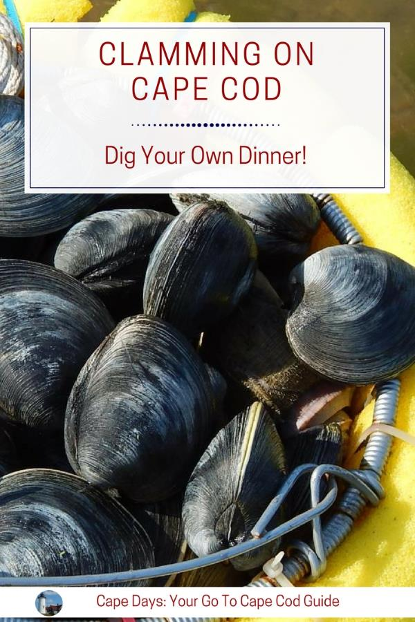 Digging your own quahog steamer clams cape cod ma for Ma fishing license cost