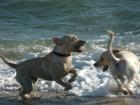 Dogs playing at a Cape Cod beach
