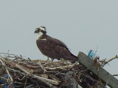 Osprey in the Nest at Bass Hole