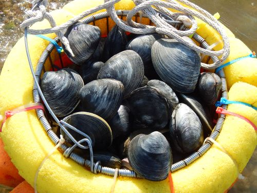 basket of fresh quohog clams
