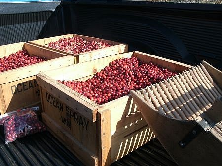 boxes of newly harvested cape cod cranberries