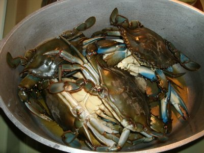 Blue claw crabs in the cooking pot