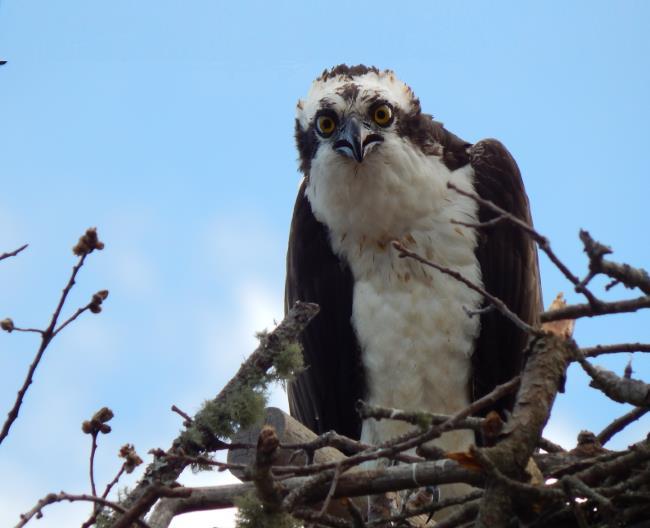 Osprey in the nest