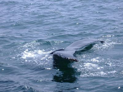Whale Watching in Cape Cod - Wow!!